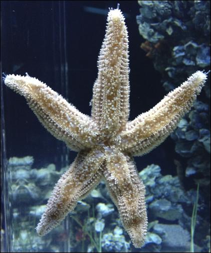Sucky Starfish